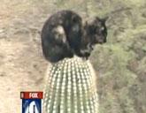 Cat stuck on top of Arizona cactus