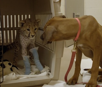 Ruuxa, a cheetah cub, gets a visit from his puppy companion as he recovers from surgery on his front legs.