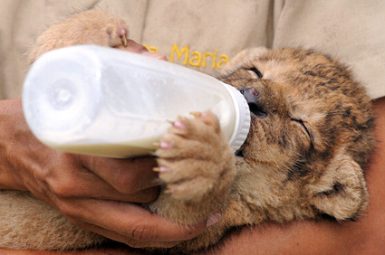 Lion being fed milk