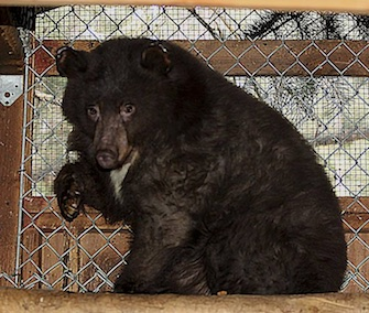 After recovering from burns at Lake Tahoe Wildlife Care in California, Cinder is transported to a rehab center in Idaho for the winter.
