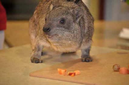 rock hyrax eating