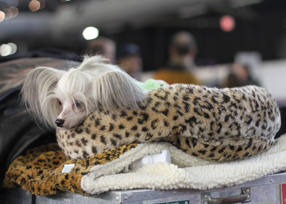 Chinese Crested at Westminster