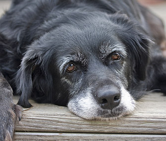 Senior dog lying down outside with head resting on porch