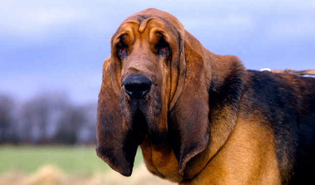 Bloodhound Bloodhound Dog Breed Information