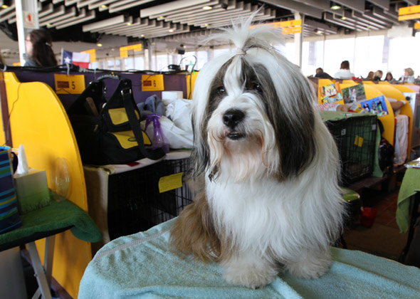 Westminster Cooper the Tibetan Terrier