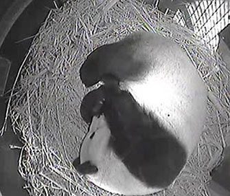 The San Diego Zoo's Bai Yun cradles her new panda cub in her den.