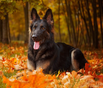 Autumn German Shepherd