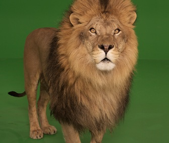 A lion takes part in a shoot for GreenScreen Animals.