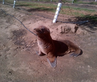 Hoppie was found miles from the coast, in an almond orchard near Modesto, California. He was brought to The Marine Mammal Center for rehabilitation.