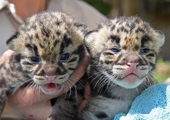 Zoo Babies Gallery: Clouded leopards Zoo Miami