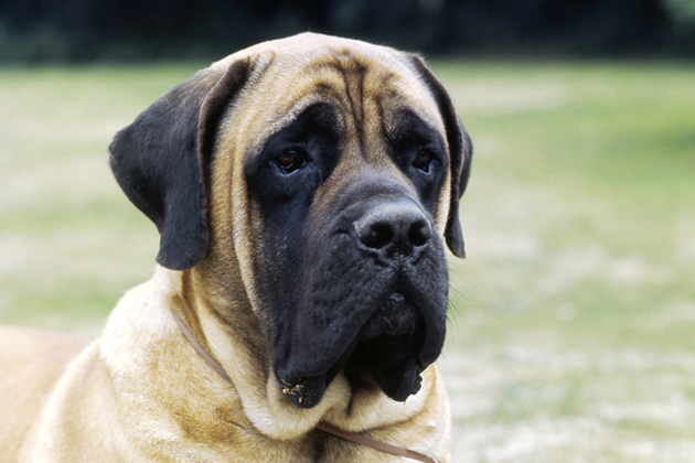 Mastiff  Gentle Giant