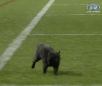 A black cat darted across a field during a rugby match in Sydney.
