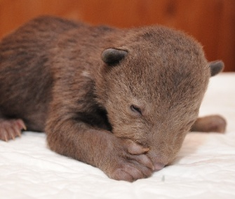 This cub and its three orphaned siblings were rescued from a forest in Russia.