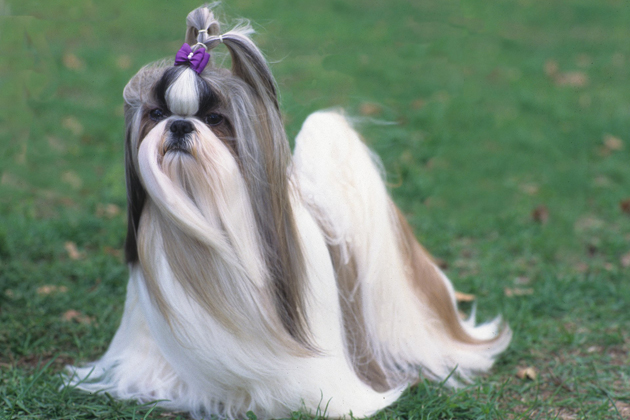 Shih Tzu  Attached and Affectionate