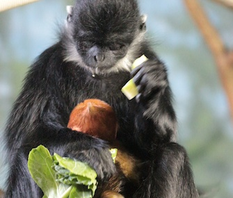 Francois' langur Pumpkin cuddles with her newborn baby.