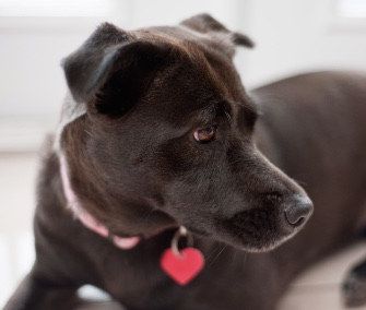 black dog with red ID tag
