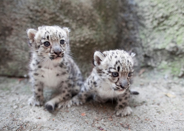 Cute baby snow leopard cubs - photo#23