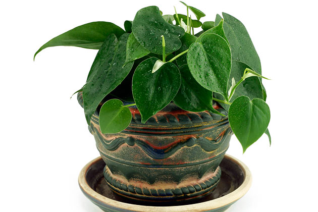 7. Heartleaf Philodendron