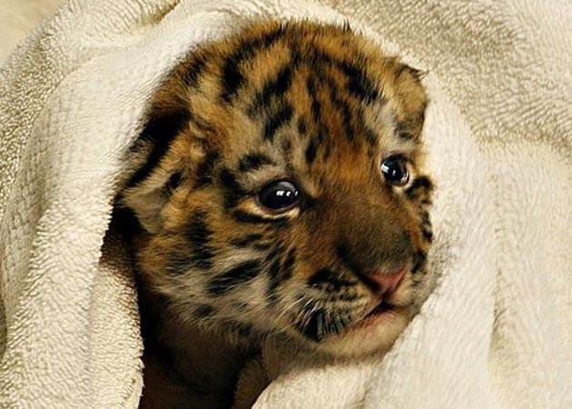 Amur tiger cub in towel