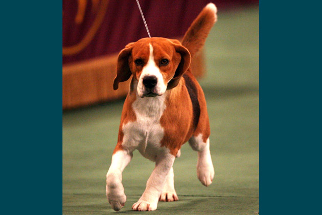 2008: Uno the Beagle