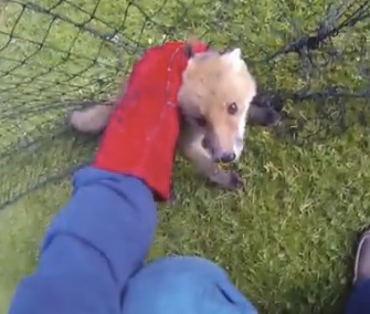 A Wildlife Aid Foundation rescuer freed a baby fox from a cricket net in Britain.