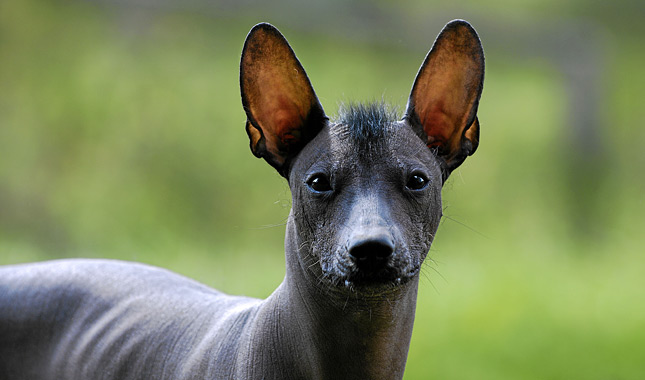 Xoloitzcuintli Dog Breed Xoloitzcuintli For Sale In California