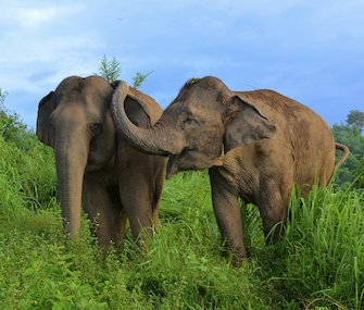 Asian elephants console each other when one becomes stressed.
