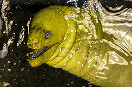 Moray Eel in Water