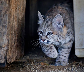 Chips, a bobcat kitten, is too nice for the wild.