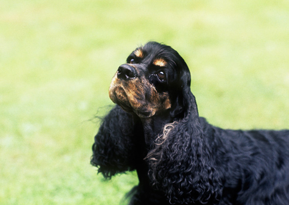 Cocker Spaniel dog breed