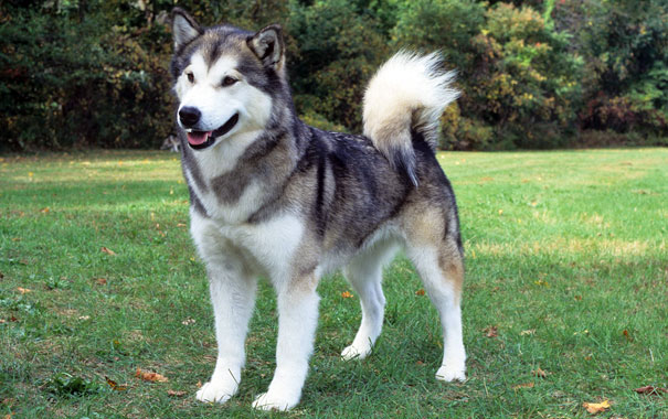 Image result for alaskan malamute