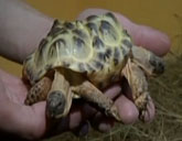 conjoined tortoises