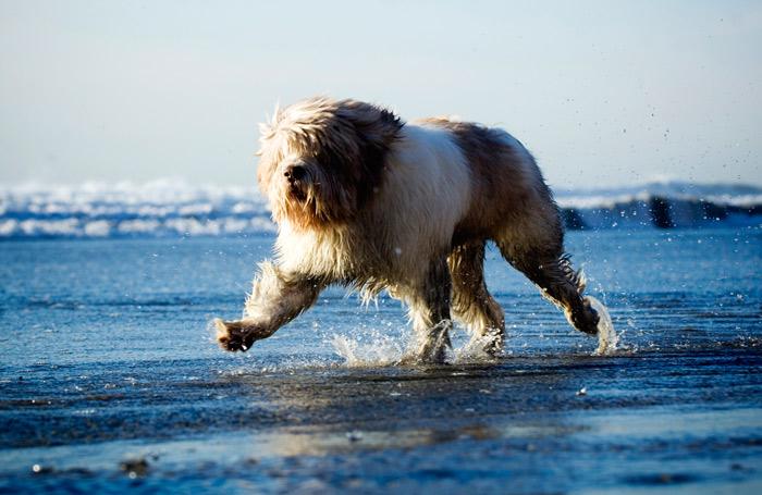 Polish Lowland Sheepdog Running in Water