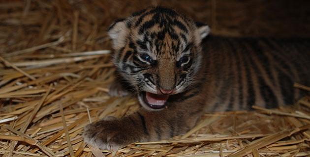 C.J., the Sacramento Zoo's Sumatran tiger cub, at 11 days old.
