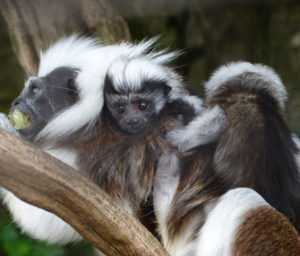 Twin cotton-top tamarins at Cotswold Wildlife Park