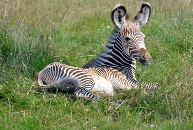 Baby Zebra at the Whipsnade Zoo