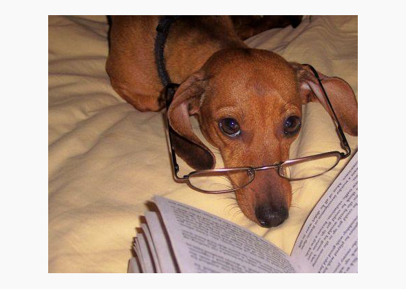 Topanga the Dachshund in glasses