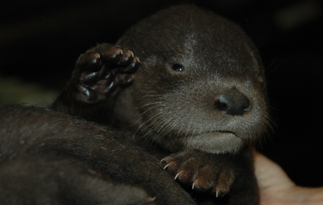 One of the river otter pups at the Oakland Zoo