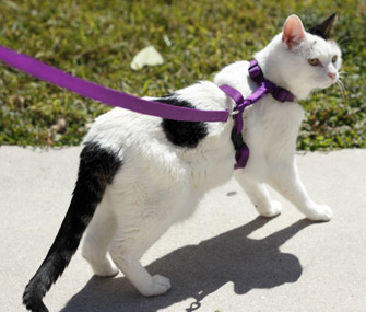Walking cat on leash