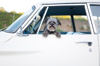 Dog in car window portrait