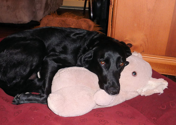 Rescue dog lays on pillow buddy.