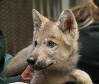 The five wolf pups who were rescued in Alaska in May arrived at the Minnesota Zoo Tuesday.