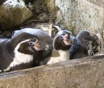 Penguin dads Jumbs and Kermit sit in their nest with their chick.