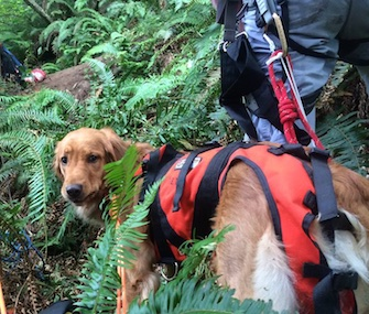 Shelby the Golden Retriever was rescued from a Washington state cliff.