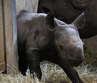 A female Eastern black rhino was born last week at Iowa's Blank Park Zoo.