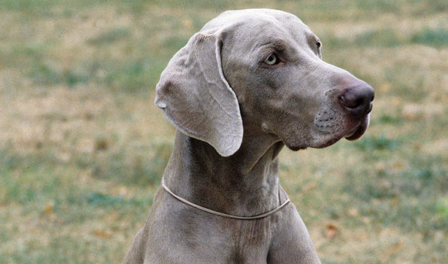 Weimaraner Dog Breed Information