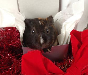 Guinea pig in a gift box