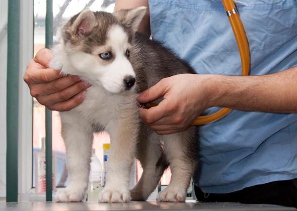 Puppy visiting vet