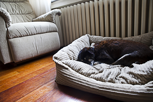 Senior dog lying in a dog bed