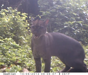 This African golden cat in Uganda was attracted to a camera trap baited with Calvin Klein cologne.
